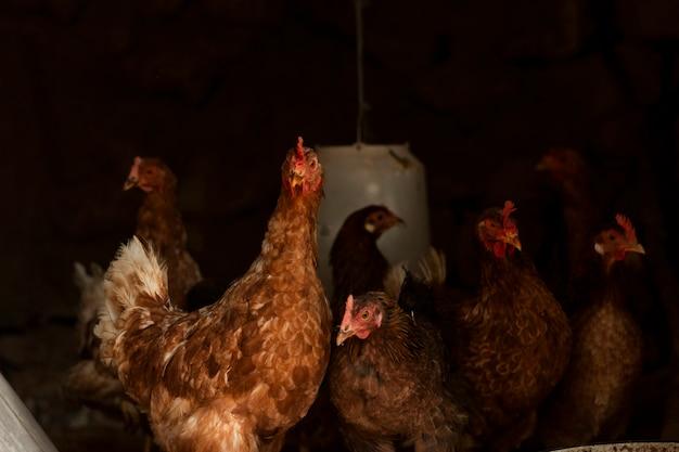 Nieuwsgierige kippen die in verschillende richtingen kijken