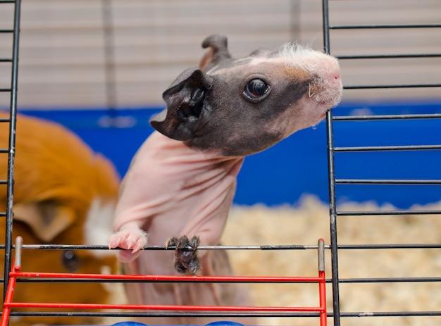 Nieuwsgierige magere caviababy die uit een kooi kijkt