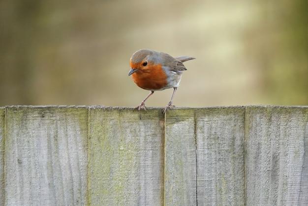 Nieuwsgierige robin redbreast-vogel die op houten planken staat en naar beneden kijkt met een wazige achtergrond
