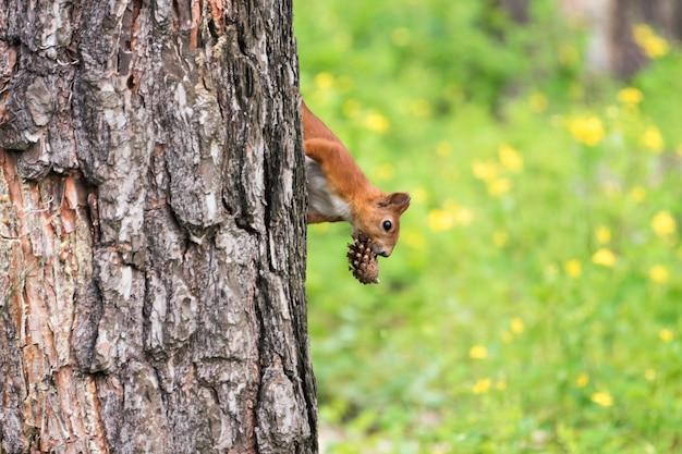 Nieuwsgierige rode eekhoorn die achter de boomboomstam gluurt die denneappel in mond houdt.
