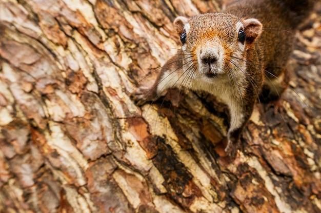 Nieuwsgierigheidseekhoorn het hangen op het boom dichte omhoog dierlijke beeld