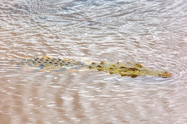 Nijlkrokodil in de maasai-rivier. maasai mara nationaal park, kenia. afrikaanse dieren in het wild.
