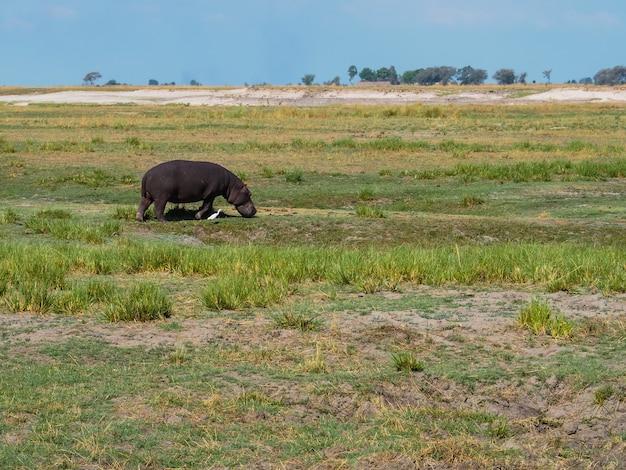 Nijlpaard die met witte aigrettevogel lopen in hun habitat