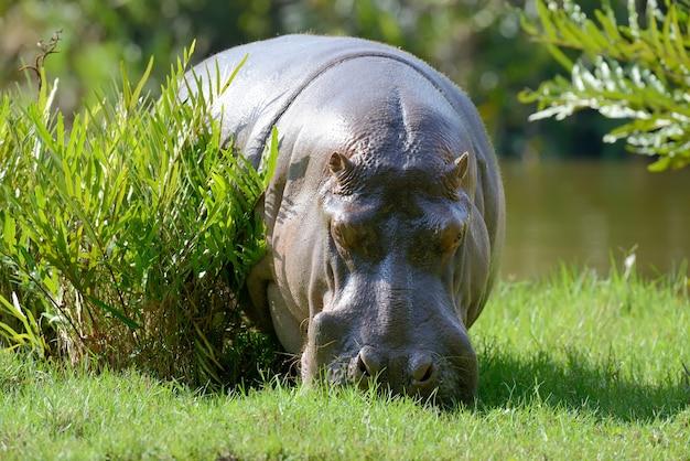 Nijlpaard (hippopotamus amphibius) in nationaal park van kenia