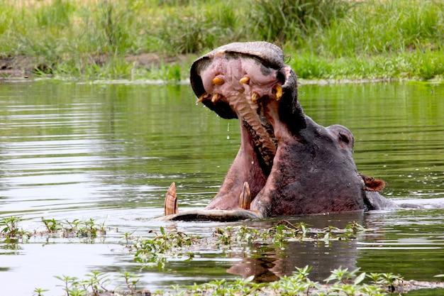 Nijlpaard met open mond in het water