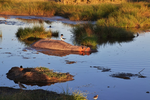 Nijlpaard, nijlpaard op safari in kenia en tanzania, afrika