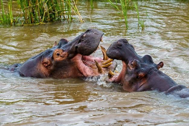 Nijlpaarden die overdag met elkaar in het water spelen