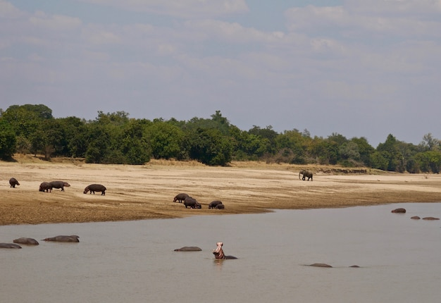 Nijlpaarden in south luangwa national park, zambia
