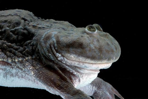 Nijlpaardkikker die in het water zwemt lepidobatrachuslaevis