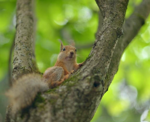 Nise rode eekhoorn zittend op een boom tegen de achtergrond van groen
