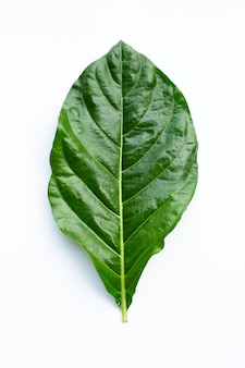 Noni of morinda citrifolia blad op witte achtergrond.