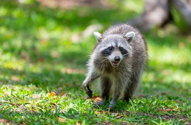 Noord-amerikaanse wasbeer in groen gras