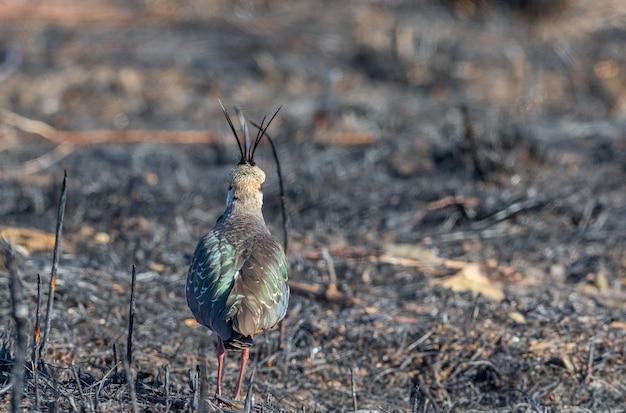 Noordelijke kievit, vanellus vanellus, uitzicht vanaf de achterkant, staande op een verbrand veld