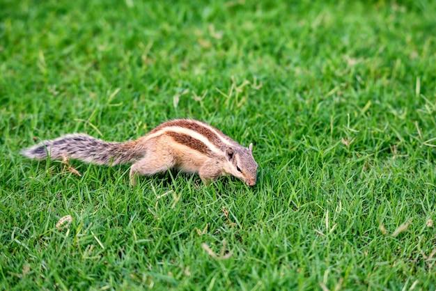 Noordelijke palm eekhoorn of funambulus pennantii