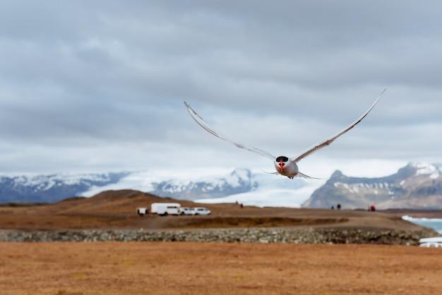Noordse sternvogel die over hemel vliegt