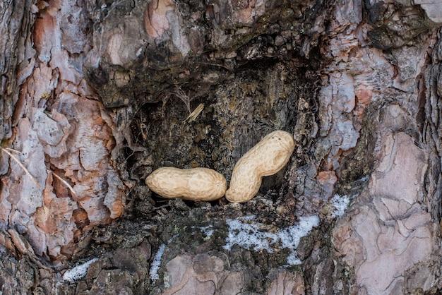 Noten voor eekhoorn in de boomschors. wintervoer