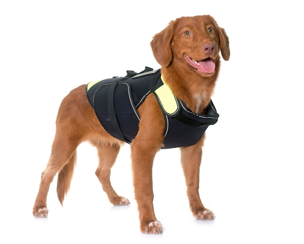Nova scotia duck tolling retriever en reddingsvest