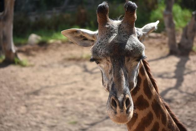 Nubische giraf sluit zijn ogen