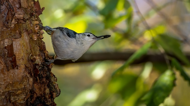 Nuthatch met witte borst