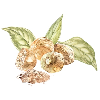 Nutmeeg. aquarel hand getekende illustratie. botanische illustratie die planken bekijkt