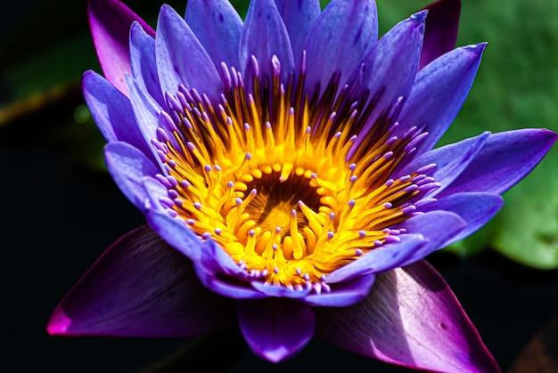 Nymfe, bloem en waterplant met uitbundige kleuren