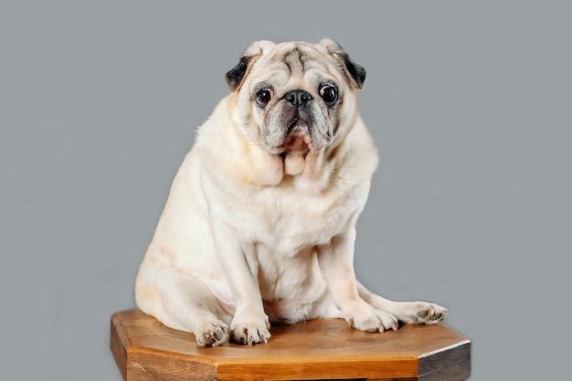 Obesitas bij honden, de gezondheid van huisdieren en een lang leven.