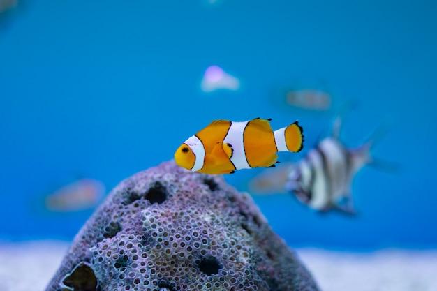 Ocellaris clownfish bij de oceaan van thailand