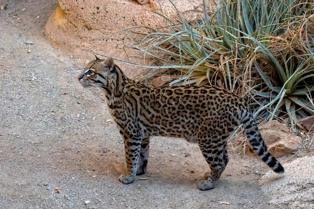 Ocelot jaagt in de woestijn van zuid-arizona