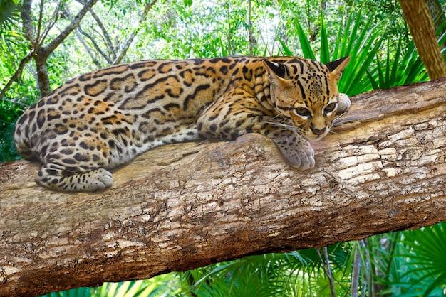 Ocelote leopardus pardalis ocelot cat