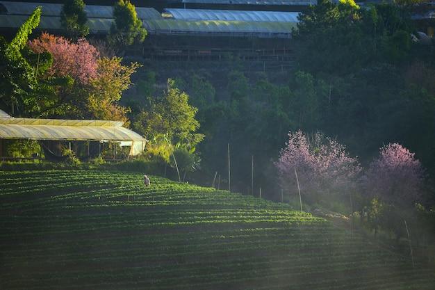 Ochtend aardbei boerderij, doi ang khang, chiangmai, thailand