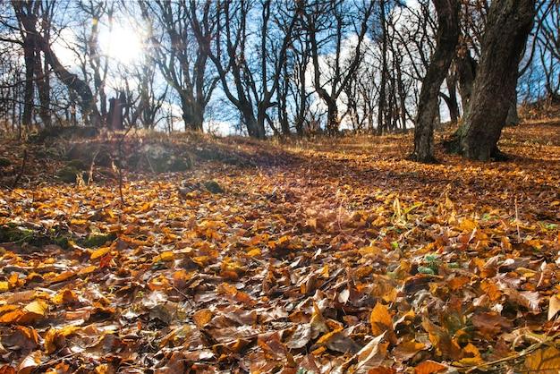 Ochtend in het herfstbos met grote eikenbomen
