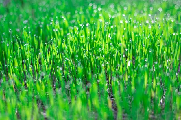 Ochtenddauw druppels op groen jong gras