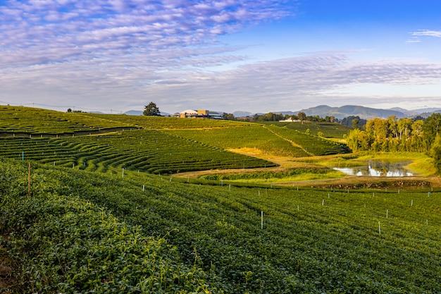 Ochtendlicht in choui fong green tea plantation, een van de prachtige agrarische toeristische plekken in het district mae chan