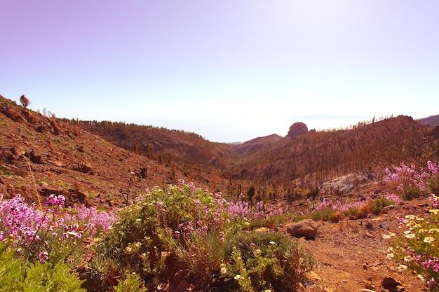 Ochtendzon en bloemen op vulkanisch veld canarische eilanden tenerife