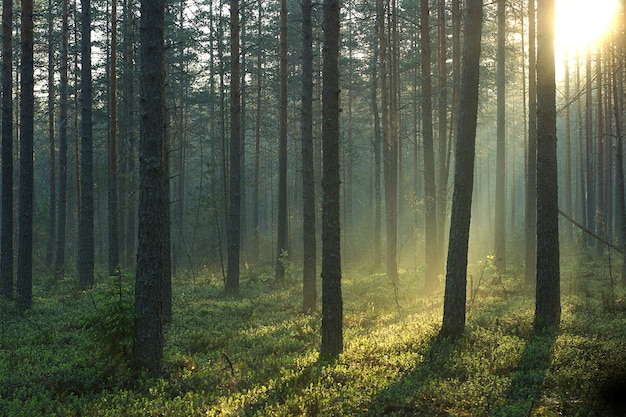 Ochtendzonstralen passeren in de vroege zomerochtend een prachtig dennenbos.