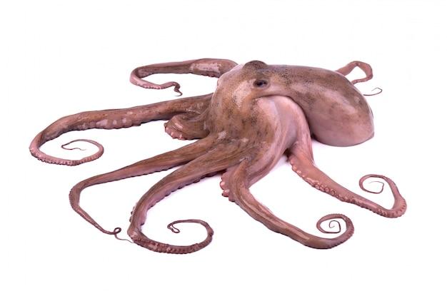 Octopus die op witte achtergrond wordt geïsoleerd