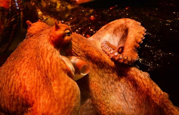 Octopus zwemmen aquarium onderwater aquarium