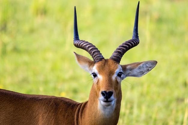 Oegandese kob. nationaal park murchison falls. oeganda. afrika