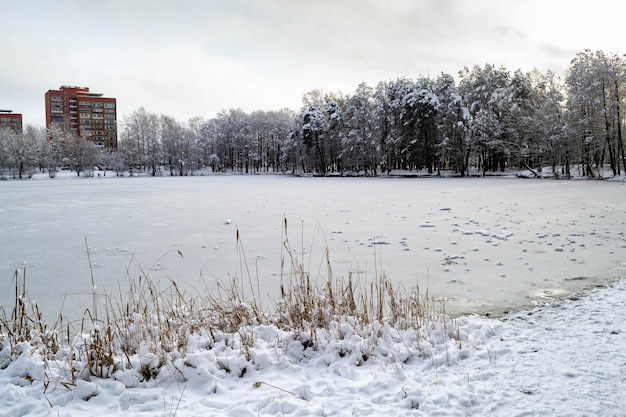 Oever van meer veel droog riet. aan de overkant is er een bos bedekt met sneeuw en hoogbouw van rode baksteen. winter landschap.