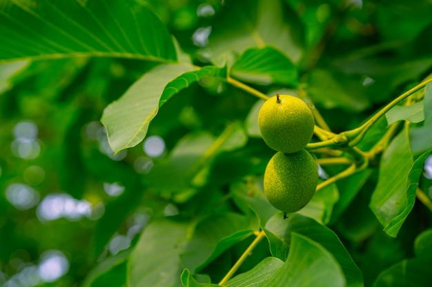 Okkernootfruitteelt op een okkernootboom