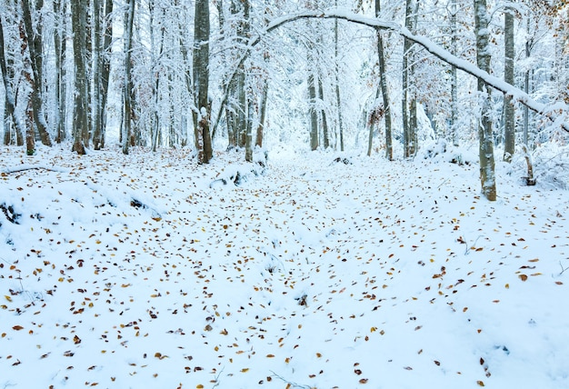 Oktober bergbeukenbos met eerste wintersneeuw en laatste herfstbladeren over.