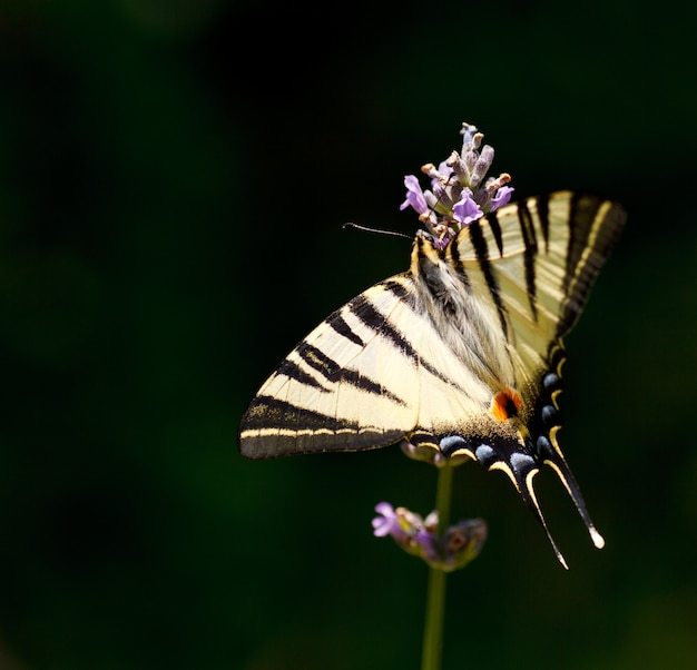 Old world swallowtail op lavendelbloemen