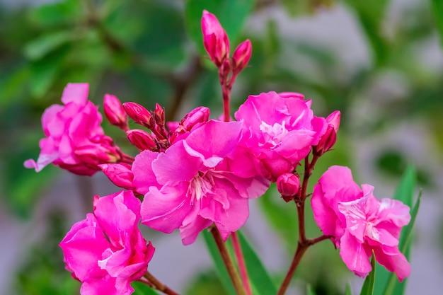 Oleander een soort van dogbane, rose bay, de botanische naam is nerium oleander. de tuin met bloeiende oleanders. sluit omhoog zacht roze zoete oleanderbloem.