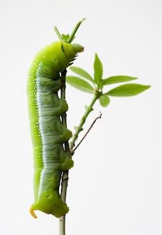 Oleander hawk moth caterpillar (daphnis nerii, sphingidae), klimt bij installatie, op witte achtergrond wordt geïsoleerd die.