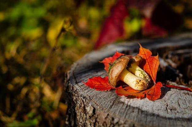 Olieachtige paddestoelen in wild bos liggend op de stomp met kleurrijke herfstbladeren.