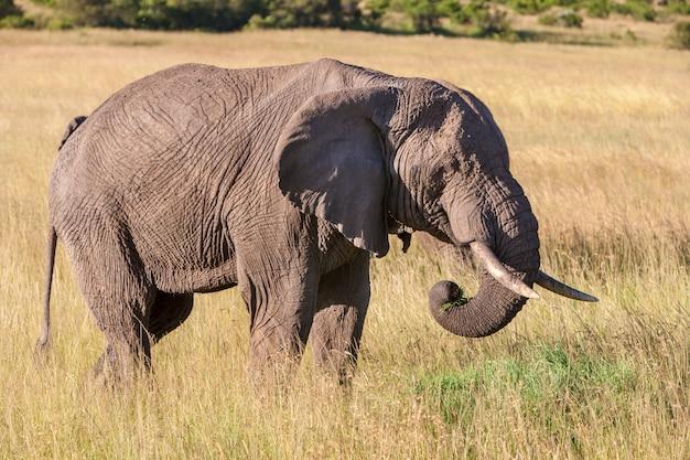 Olifant die in de savanne loopt