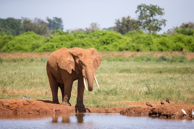Olifant die langs een rivieroever loopt