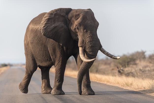 Olifant die op de weg loopt