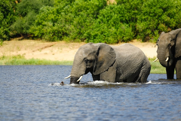 Olifant drinken in de rivier