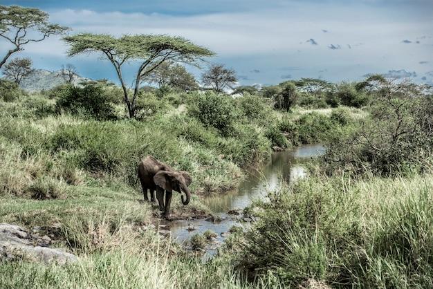 Olifant drinken in waterloop in serengeti national park